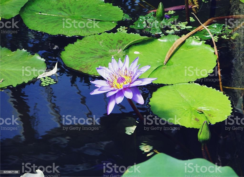 Kew Gardens Water Lily stock photo
