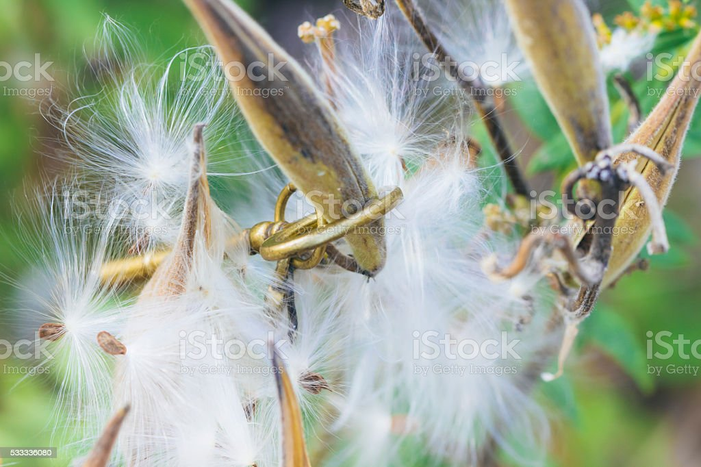 Key Caught In A Fall Milkweed Plant stock photo