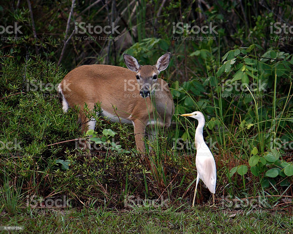 Key deer and a white crane stock photo