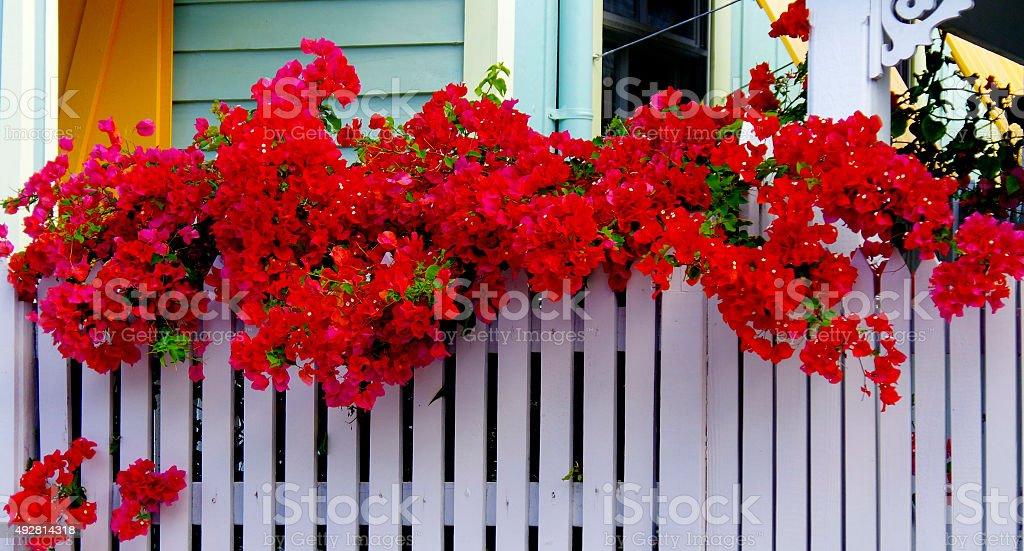 Key West bouganvilia stock photo