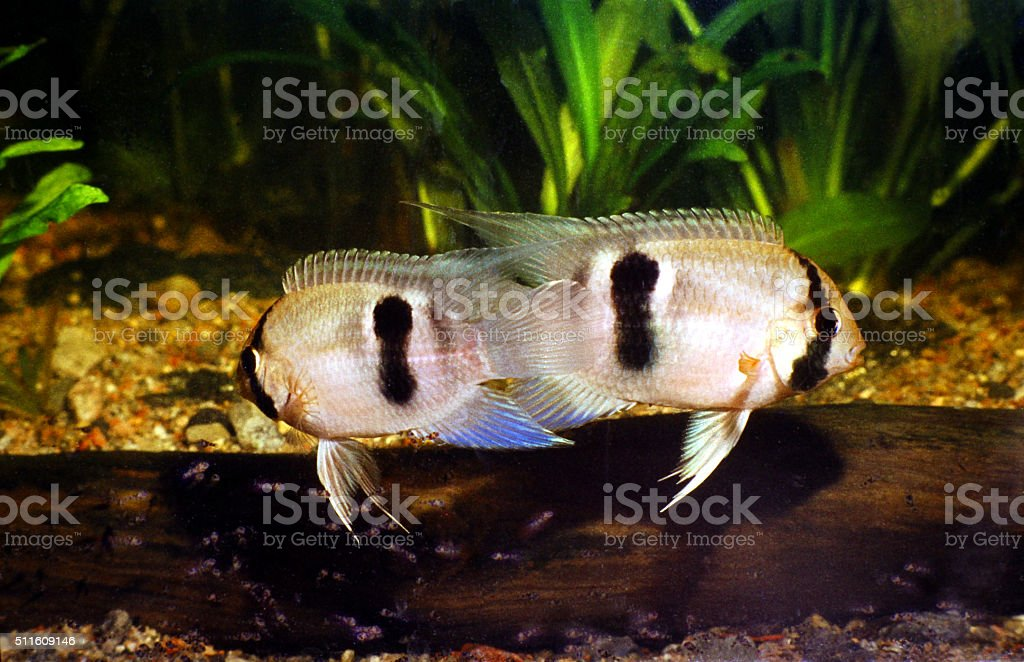 Keyhole Cichlid breeding Couple, Male and Female. Cleithracara Maronii. stock photo