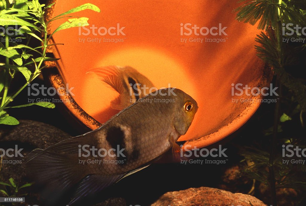 Keyhole Cichlid breeding Couple, Male in nearest position. Cleithracara Maronii. stock photo