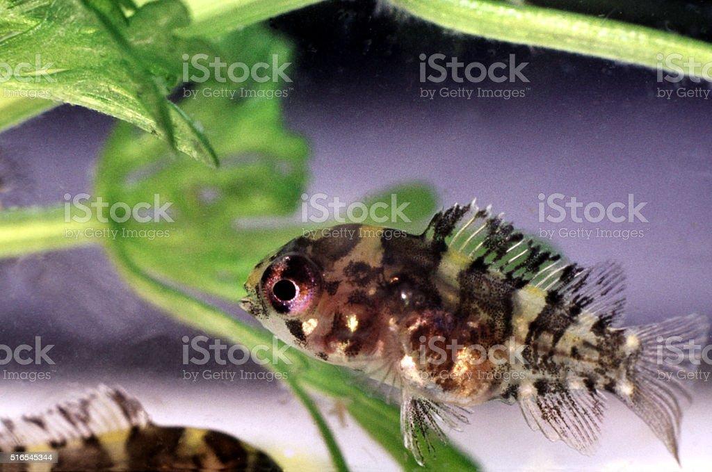 Keyhole Cichlid, juvenile. Sex weeks old. Cleithracara Maronii. stock photo