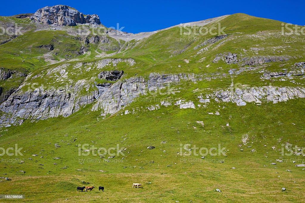 Kühe auf der Sommerweide stock photo