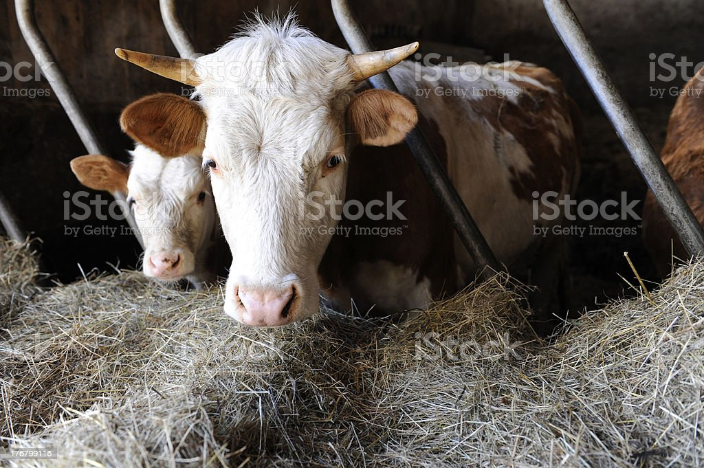 Kühe im Stall stock photo