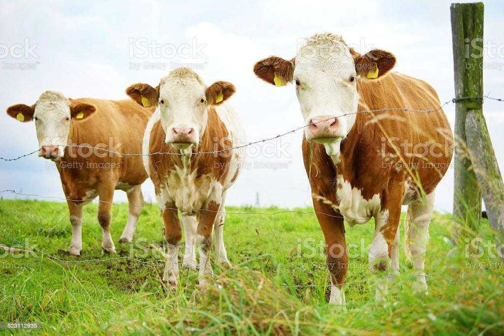 Kühe in Reih und Glied stock photo