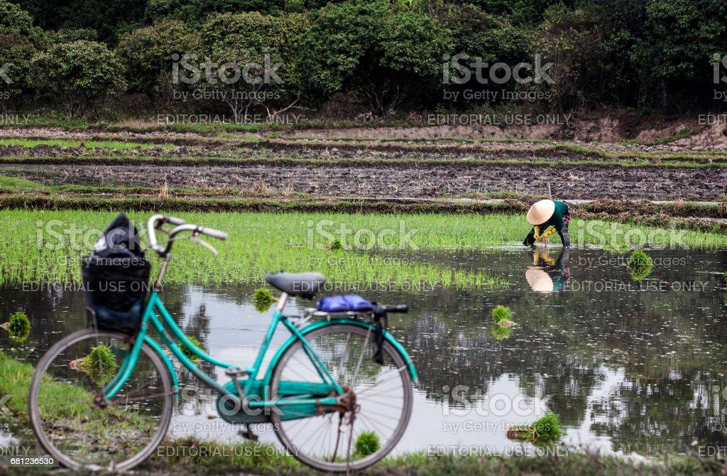 Khmer women working on rice field in Mekong delta stock photo