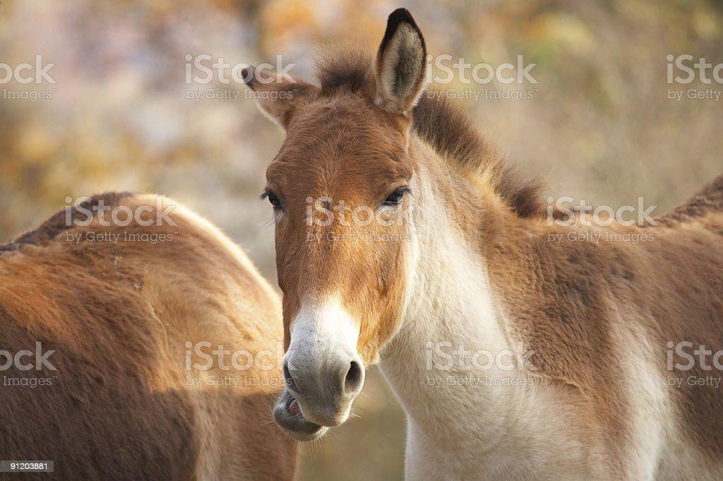Kiang horse stock photo