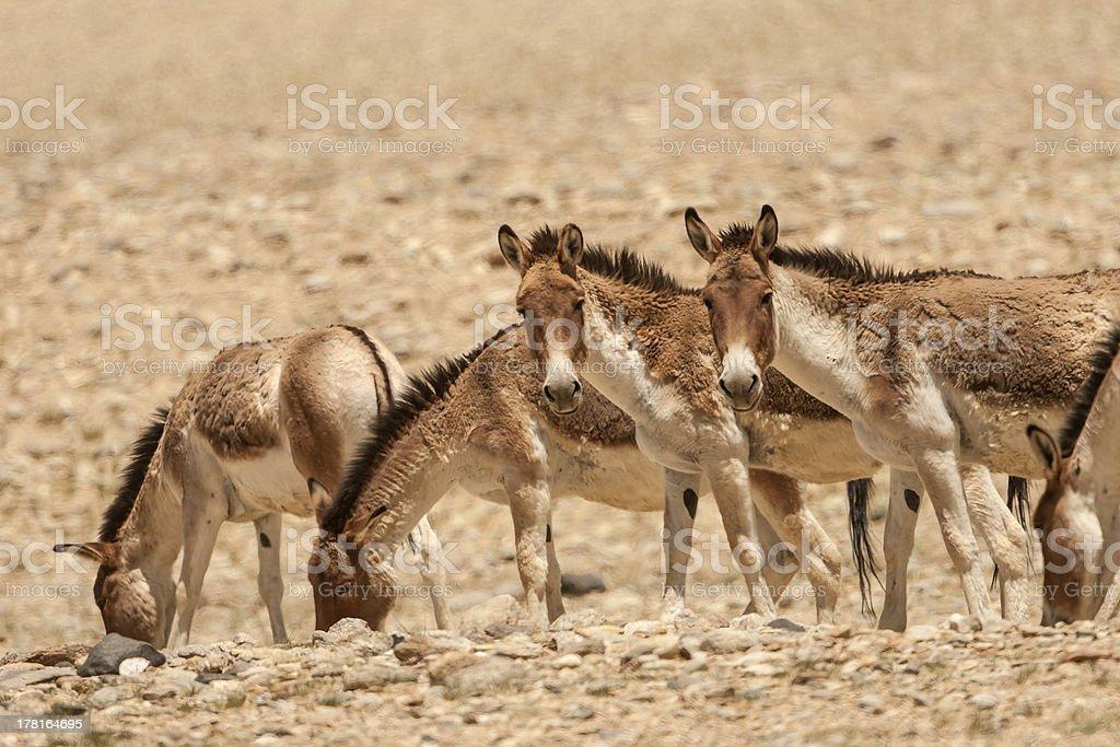 Kiang(Wild Ass) stock photo