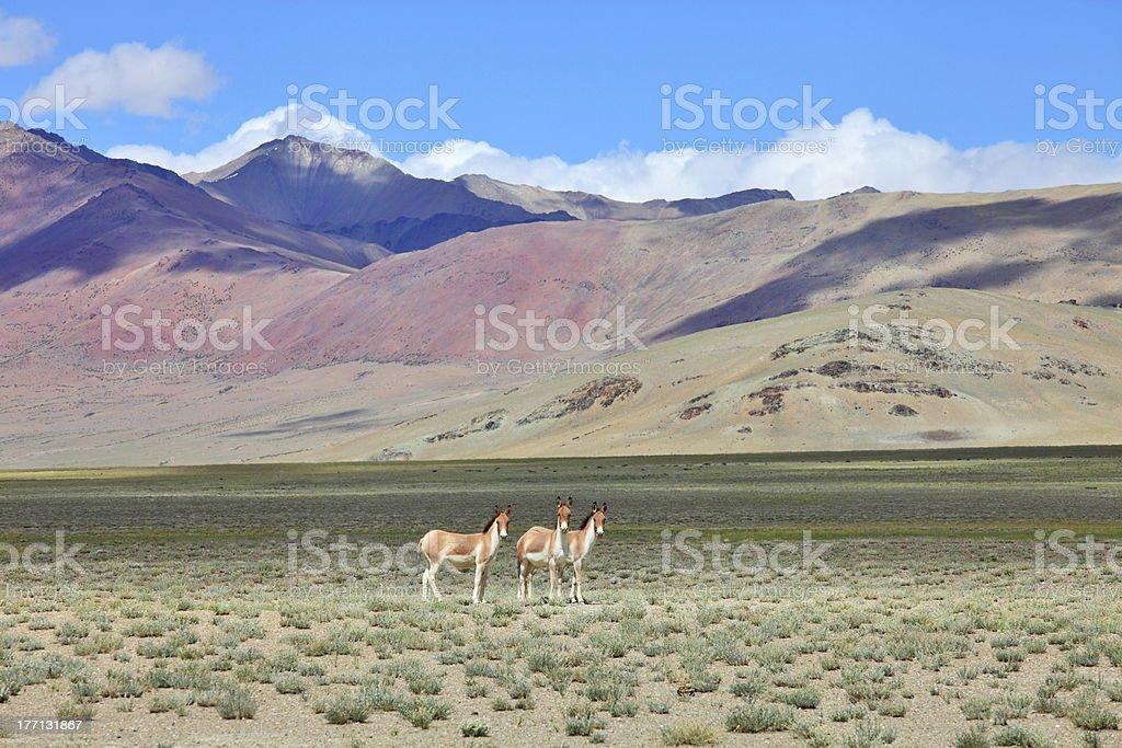 Kiang (Equus kiang)- Tibetan Wild Ass stock photo
