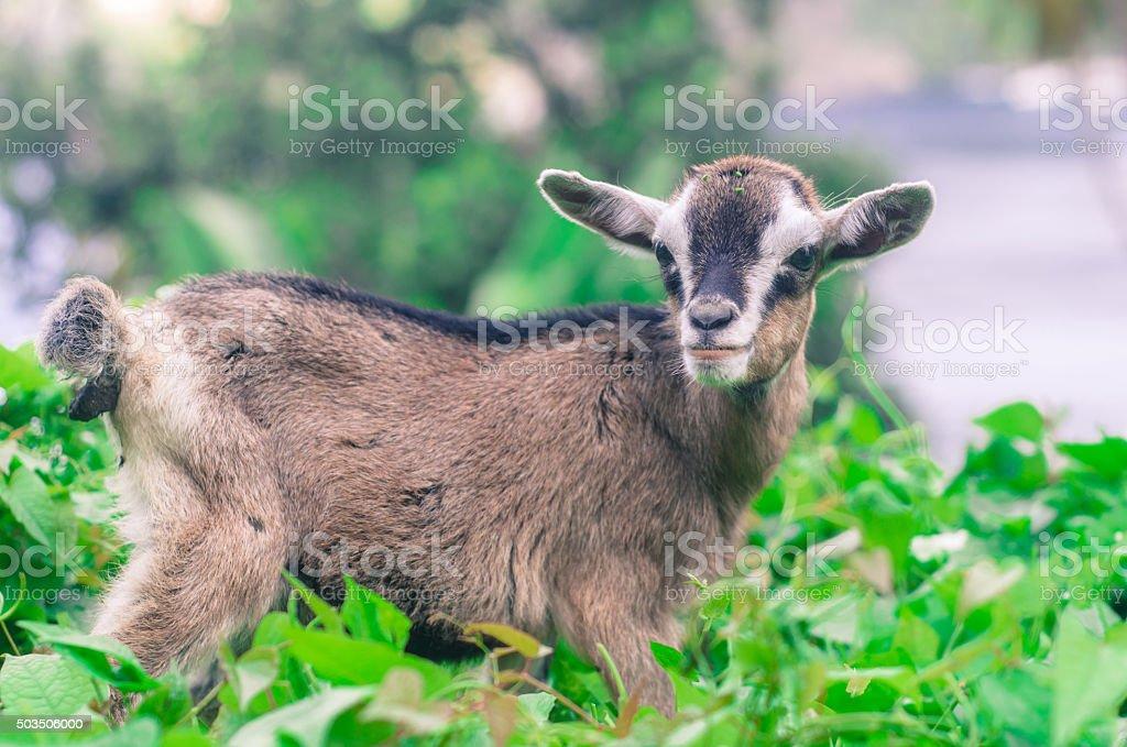 kid goat in bushy green grass stock photo