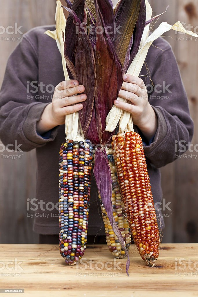 Kid, holding colorful dried Indian Corn cobs  with husk royalty-free stock photo