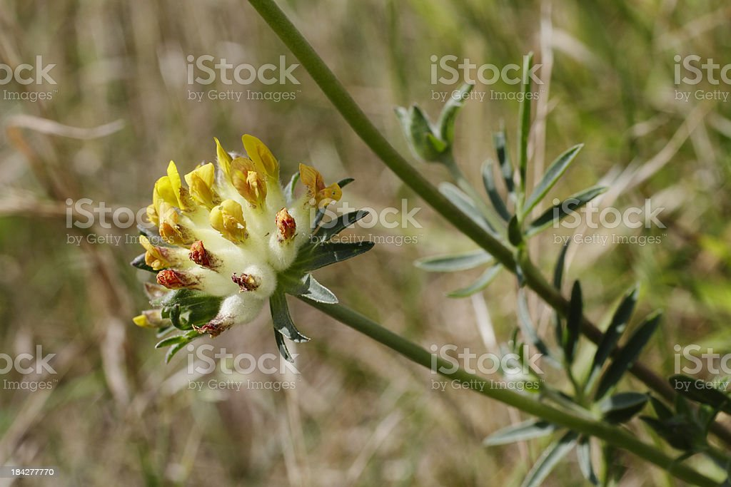 Kidney vetch anthyllis vulneraria yellow flower profile stock photo kidney vetch anthyllis vulneraria yellow flower profile royalty free stock photo mightylinksfo