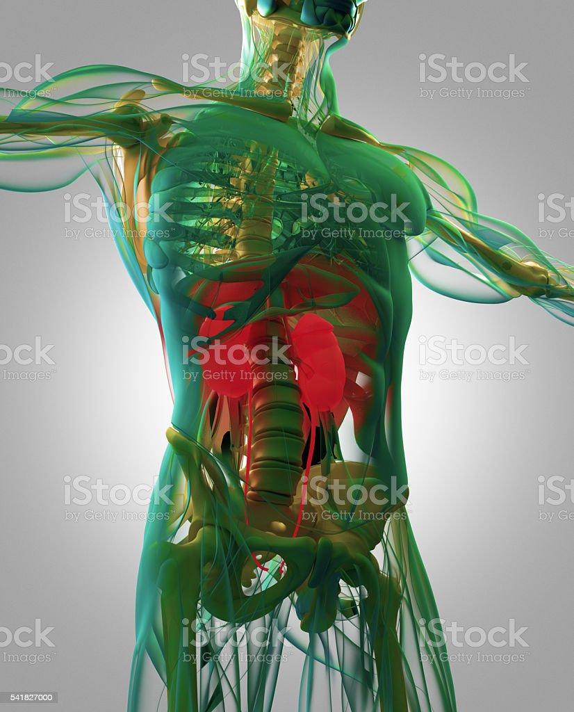Kidneys, human anatomy. Xray-like view, futuristic scan. stock photo