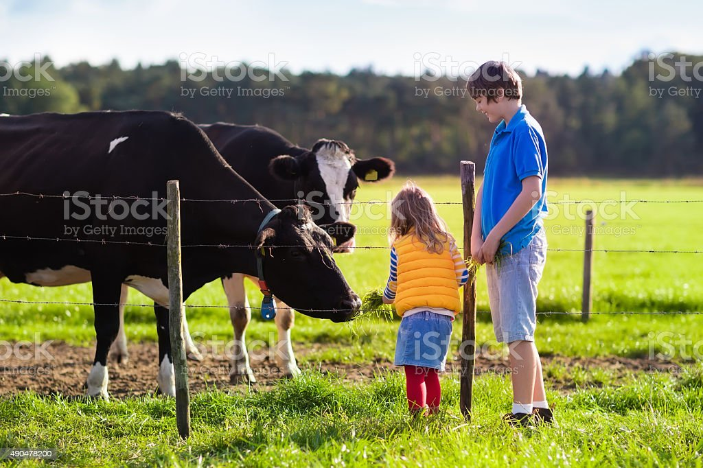 Kids feeding cow on a farm stock photo