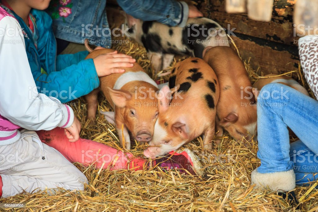 Kids petting piglets stock photo