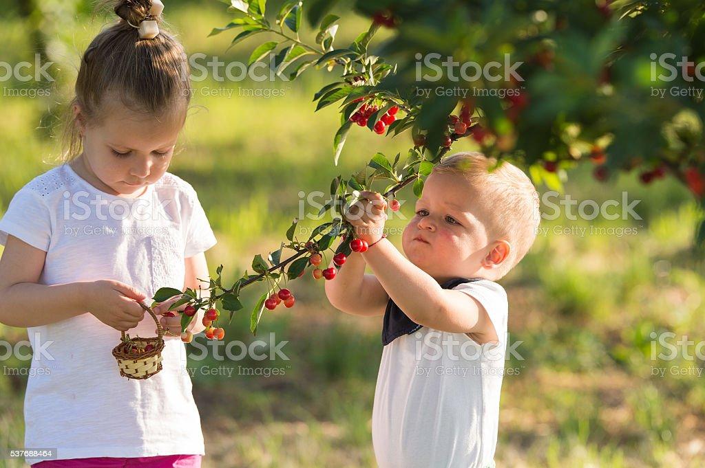 Kids picking cherry stock photo
