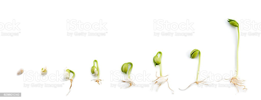 Kids Project: Bean Growing Experiment stock photo