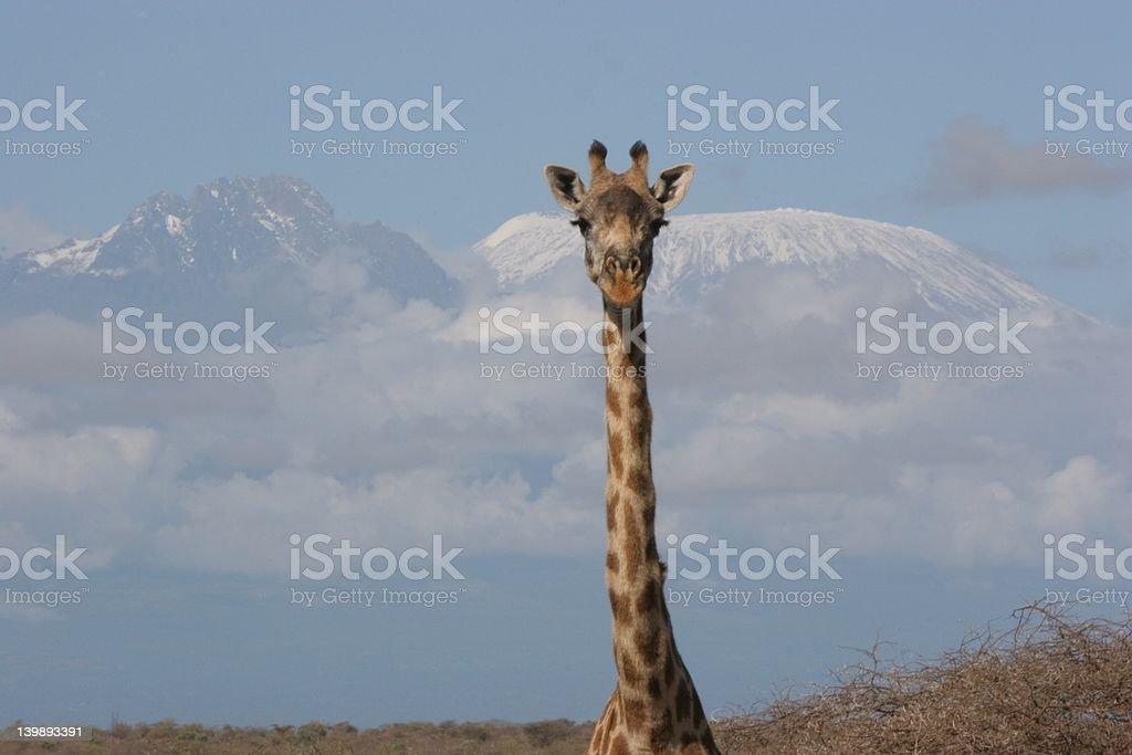 Kilimandscharo with Giraffe royalty-free stock photo