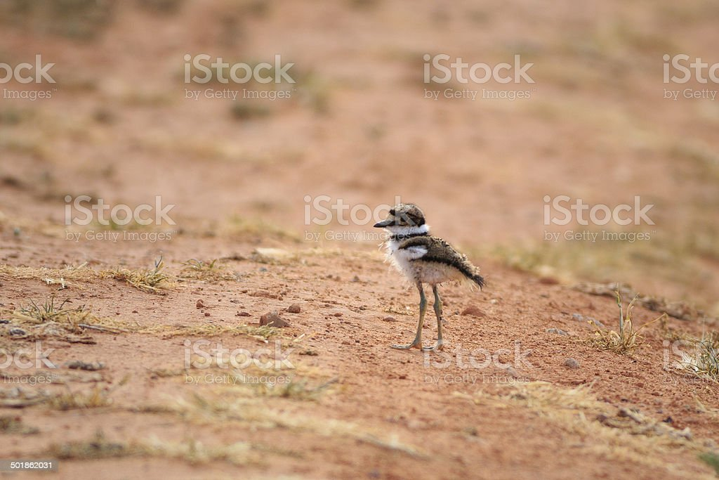 Killdeer Chick royalty-free stock photo
