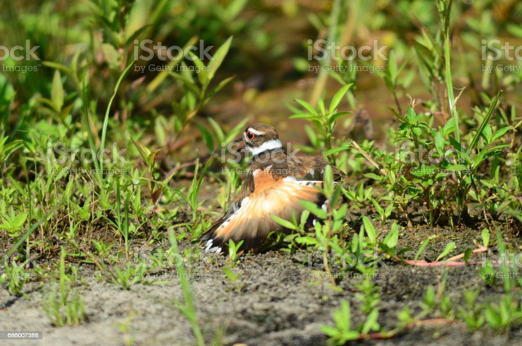 A killdeer feigning injury to draw predators away from nest stock photo