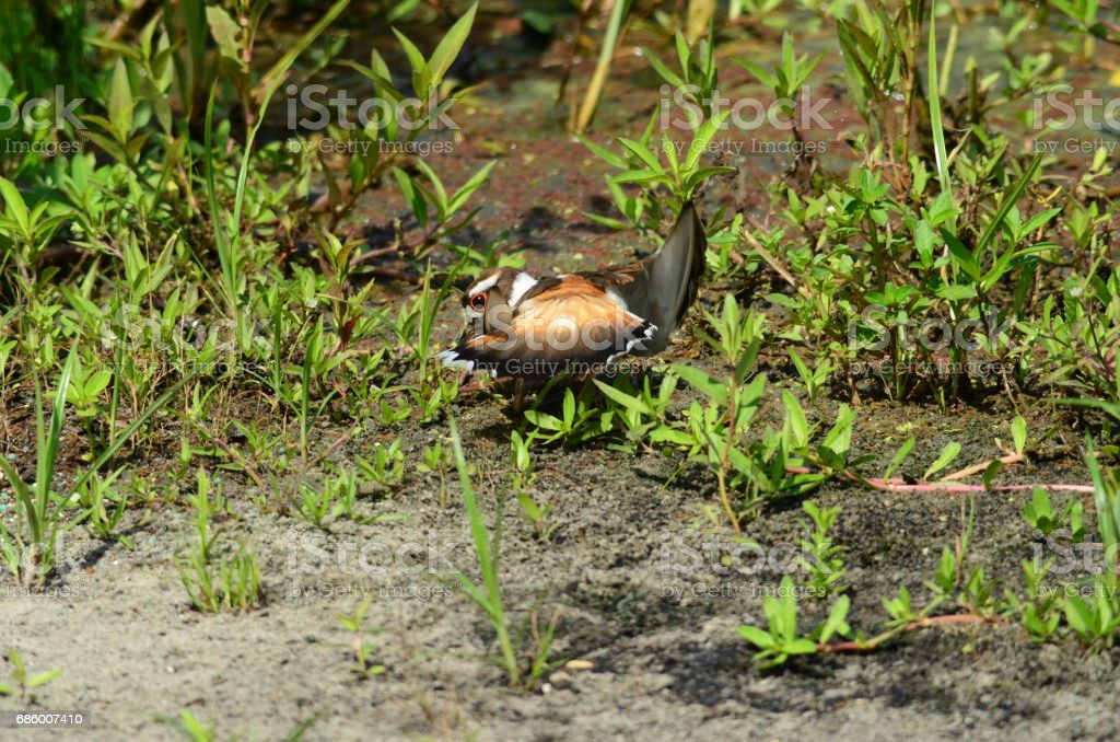 A killdeer feigns injury to draw predators away from nest stock photo