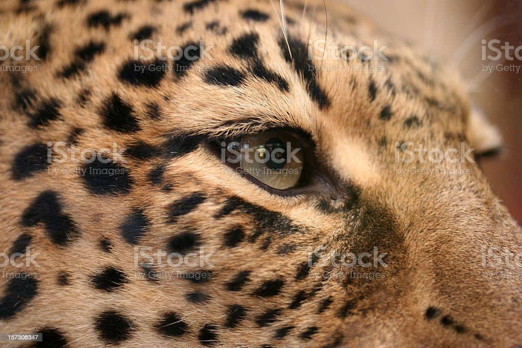Killer look of a jaguar royalty-free stock photo