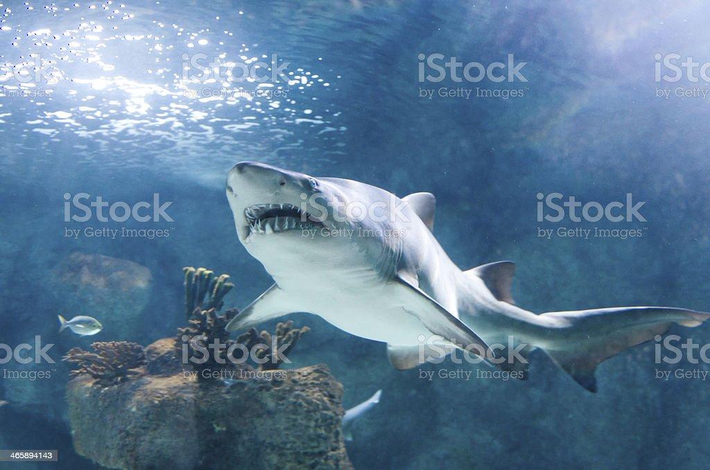 killer shark stock photo