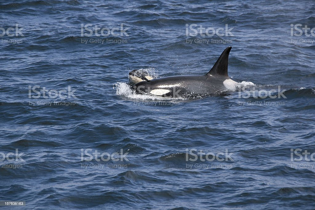Killer Whale and Calf stock photo