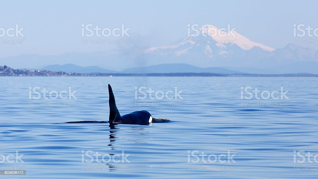 Killer whale and Mt Baker stock photo