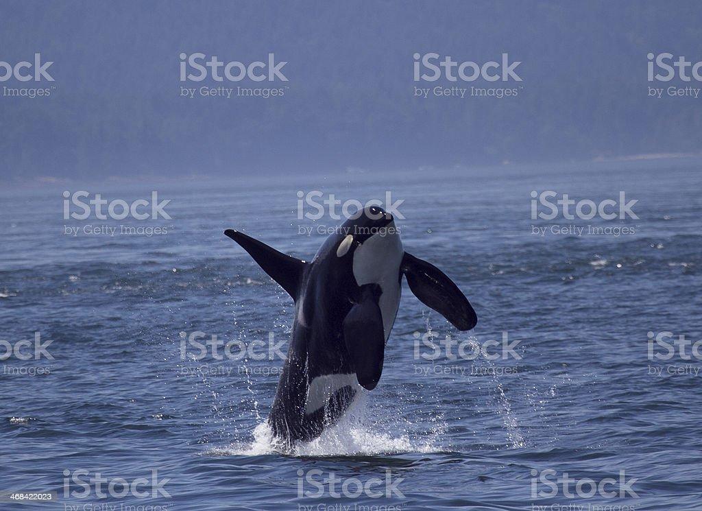 Killer whale breaching royalty-free stock photo