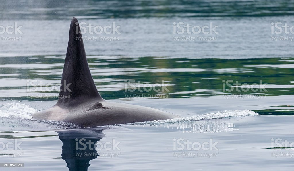 Killer Whale in the Wild stock photo