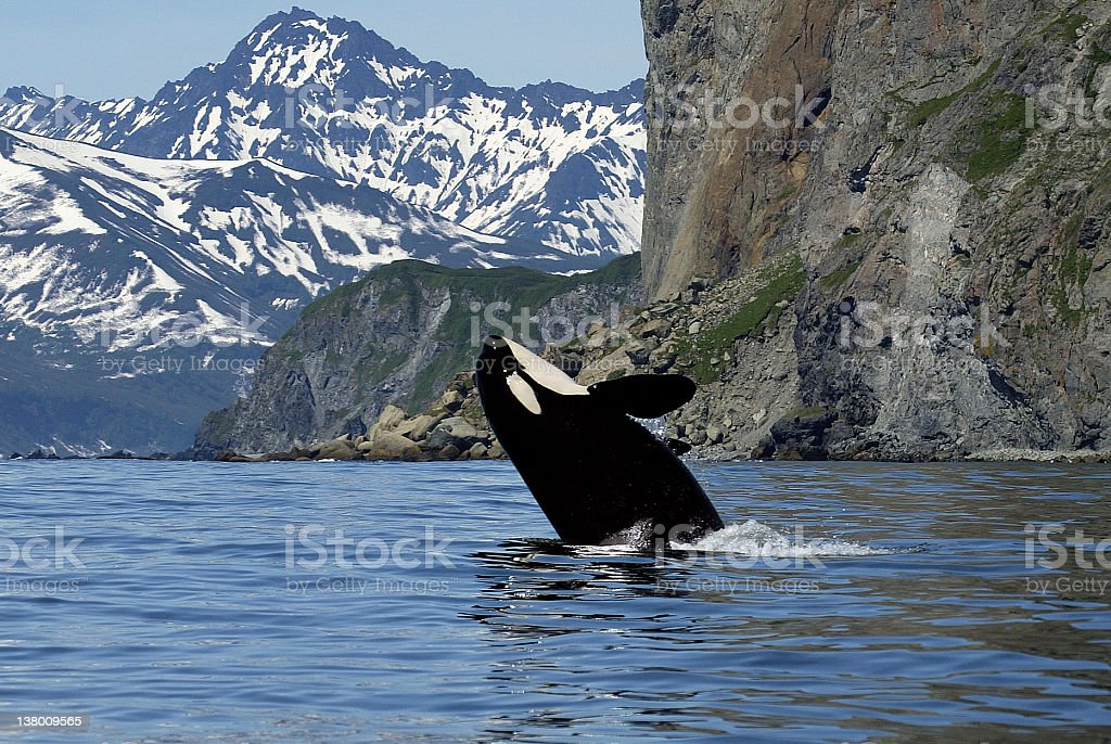 killer whale in wild stock photo