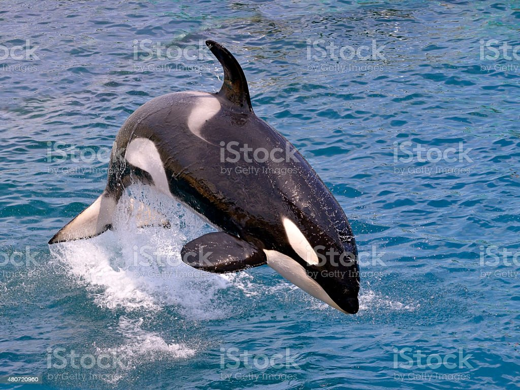 Killer whale jumping out of water stock photo
