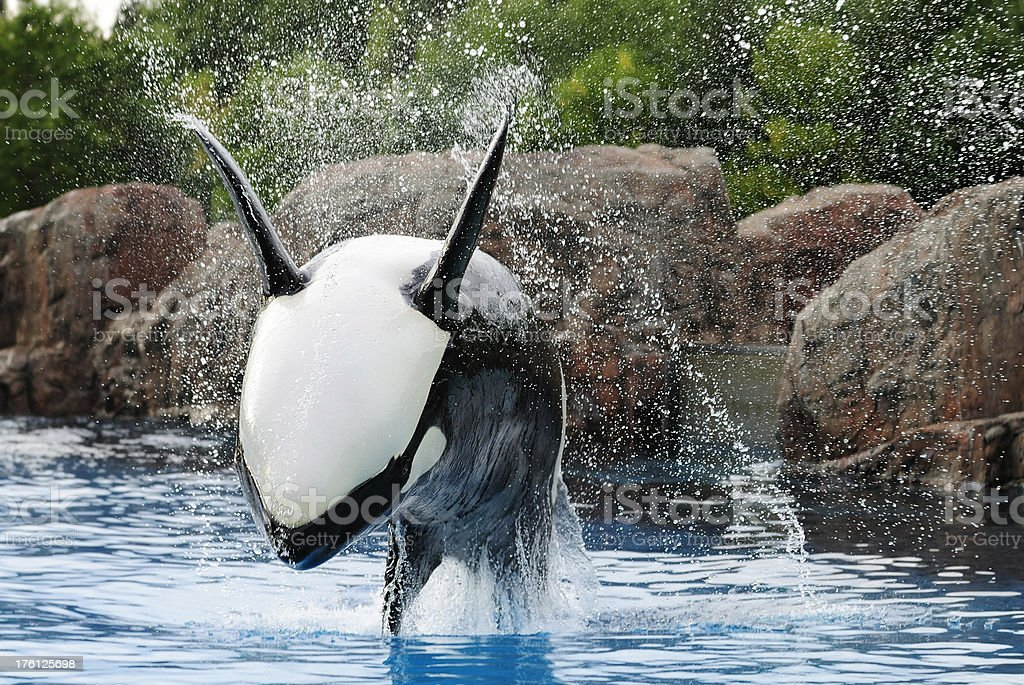 Killer Whale jumping stock photo