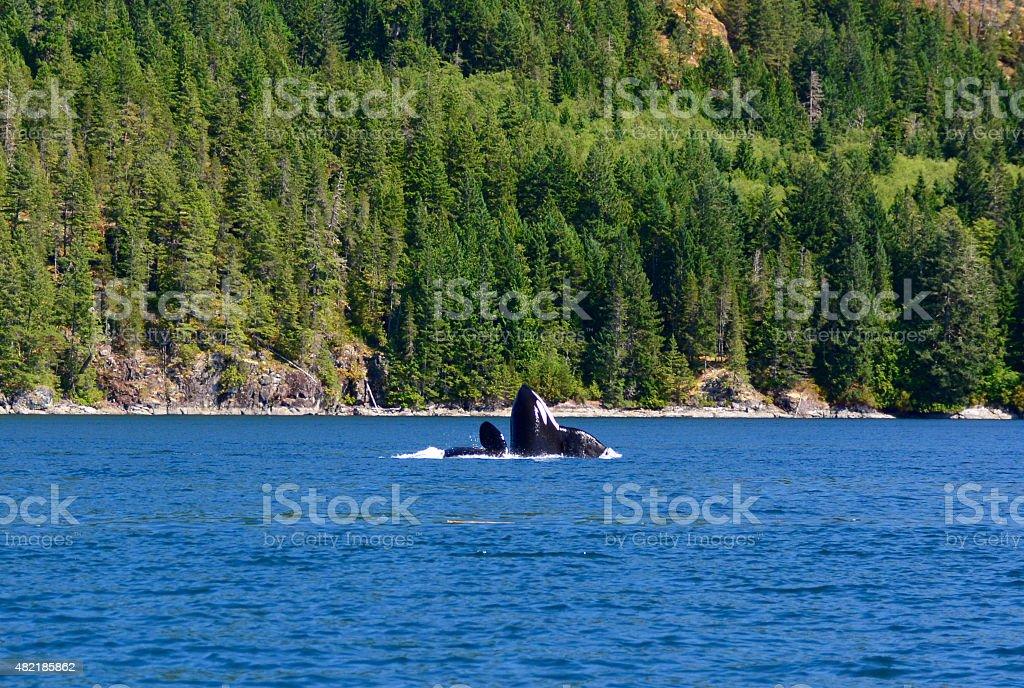 Killer whale or Orca head stock photo