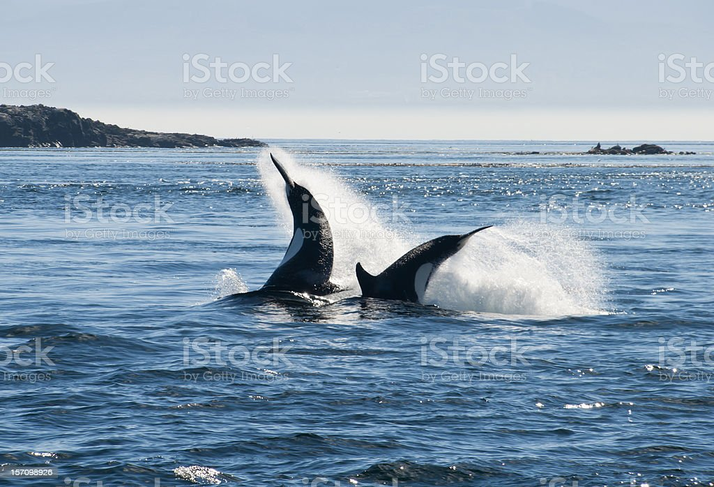 killer whale royalty-free stock photo