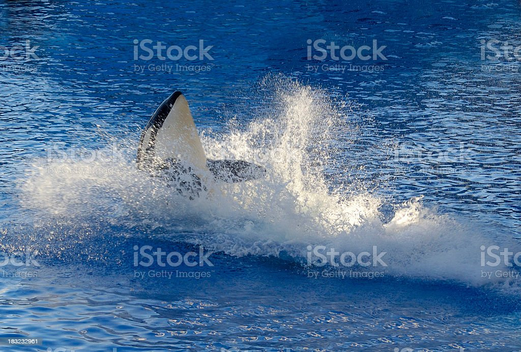 Killer Whale royalty-free stock photo