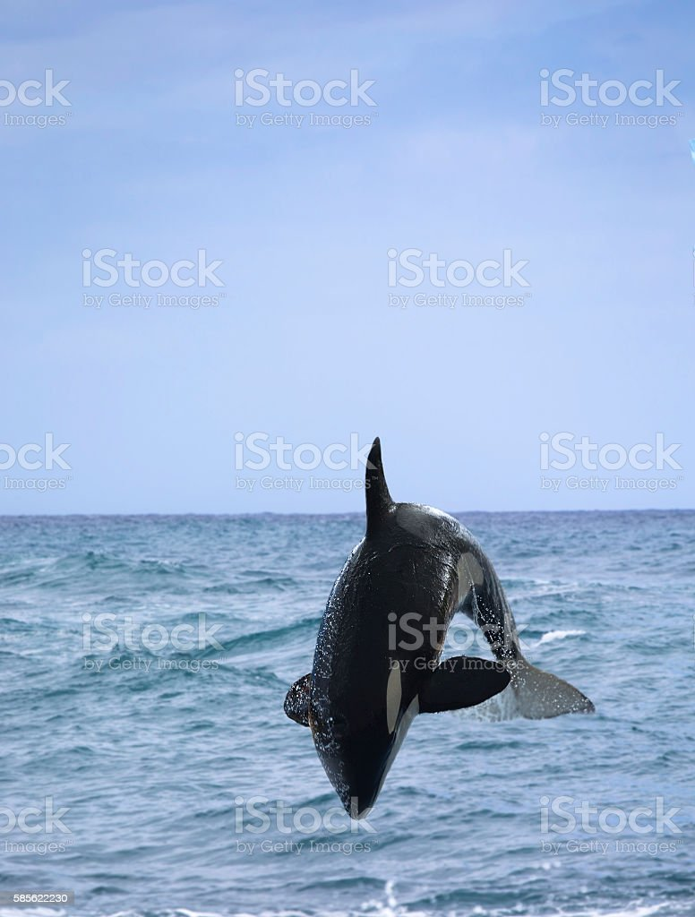 killer whale stock photo
