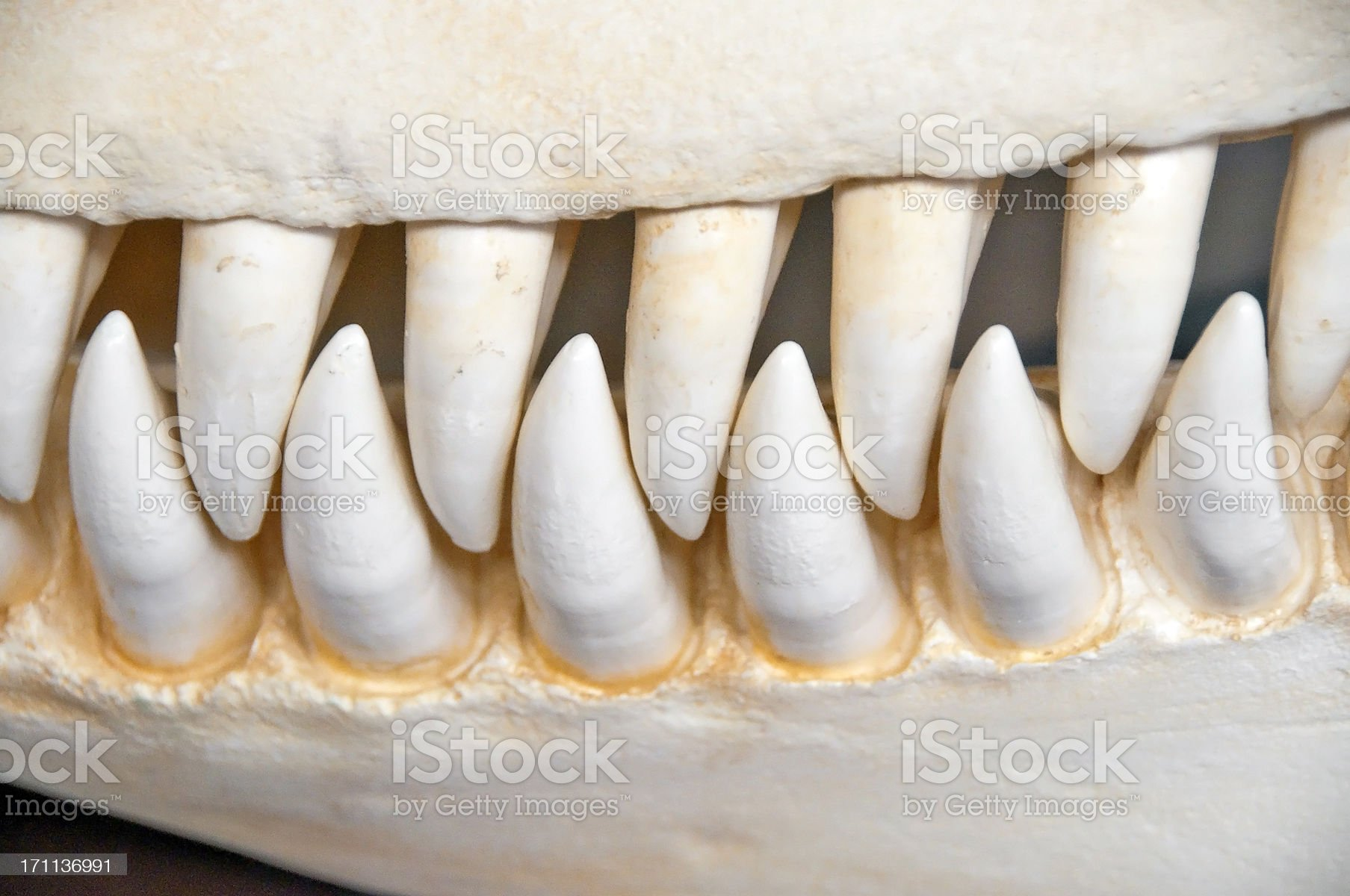Killer Whale Teeth royalty-free stock photo