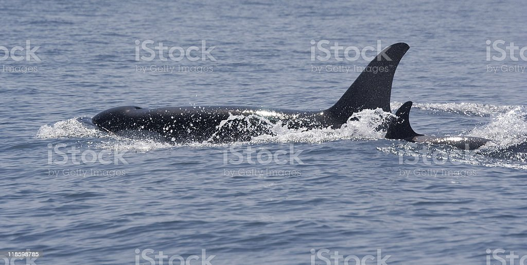 Killer Whale with Calf and Blowhole stock photo