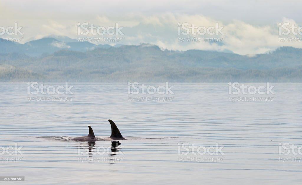 Killer Whales , British Columbia stock photo