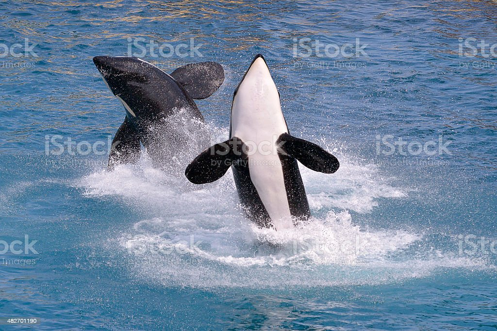 Killer whales jumping out of water stock photo