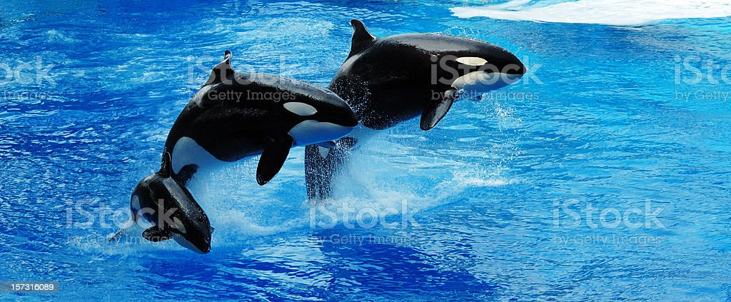 Killer Whales Jumping stock photo