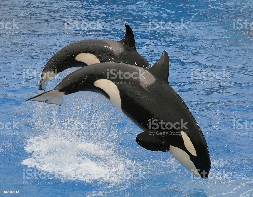 Killer Whales (2) royalty-free stock photo