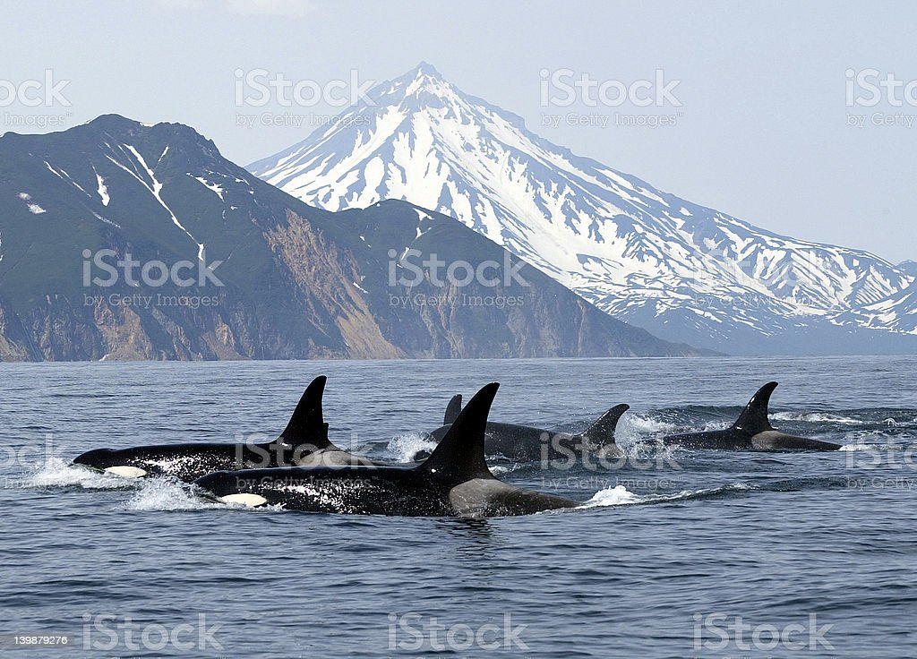 killer whales stock photo