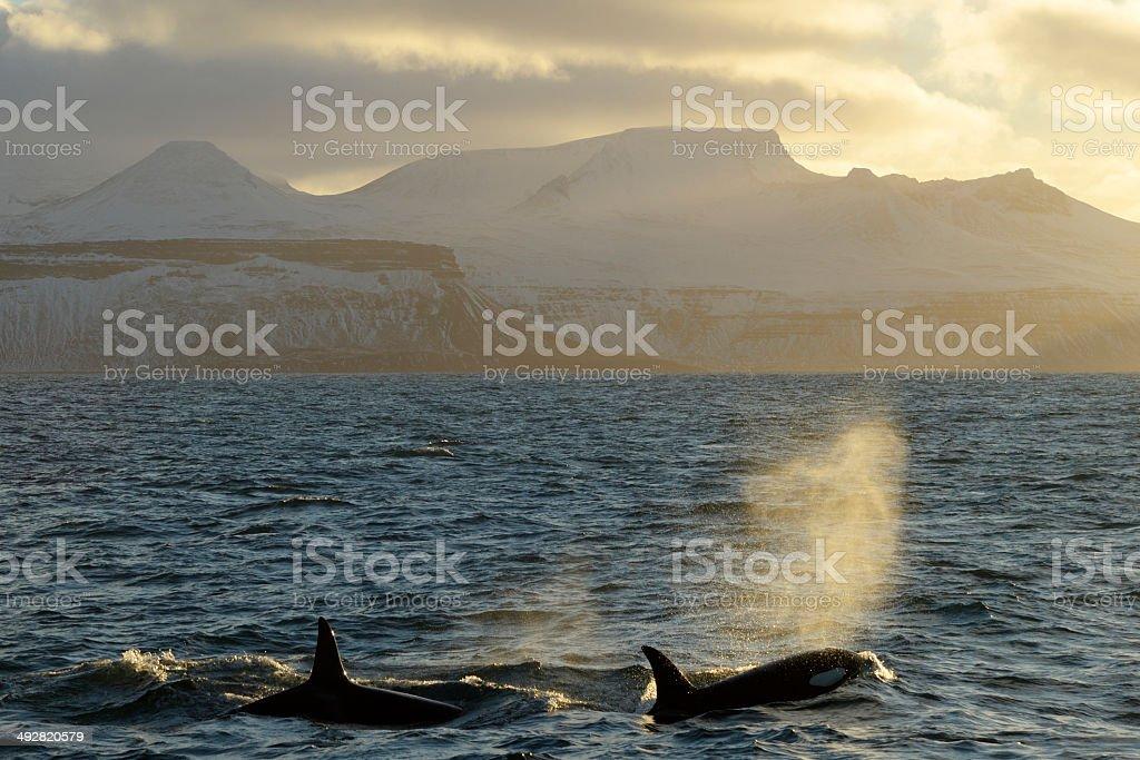 Killer Whales stock photo