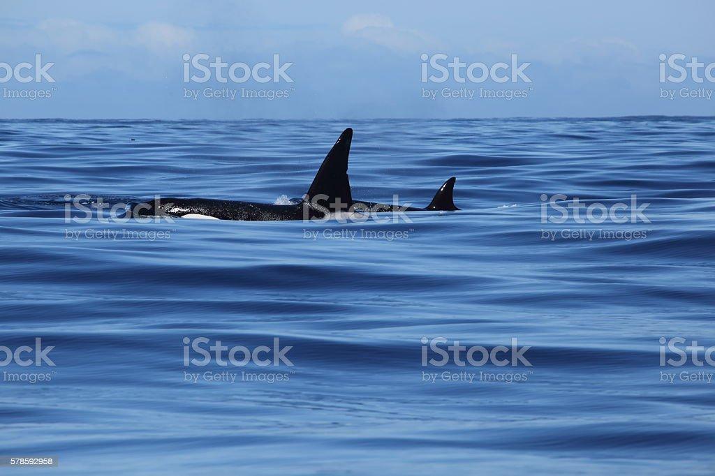 Killer Whales swimming in Monterey Bay stock photo
