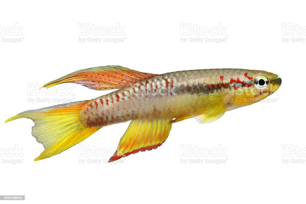killi splendid Killifish Aphyosemion splendopleure tropical aquarium fish stock photo
