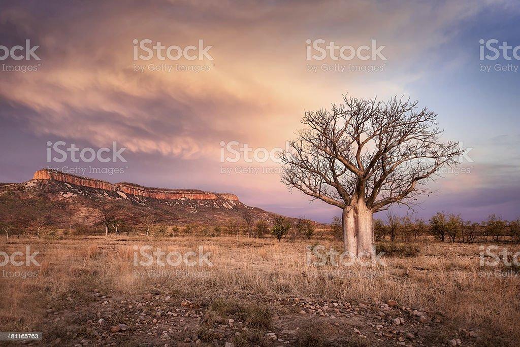 Kimberley Boab stock photo
